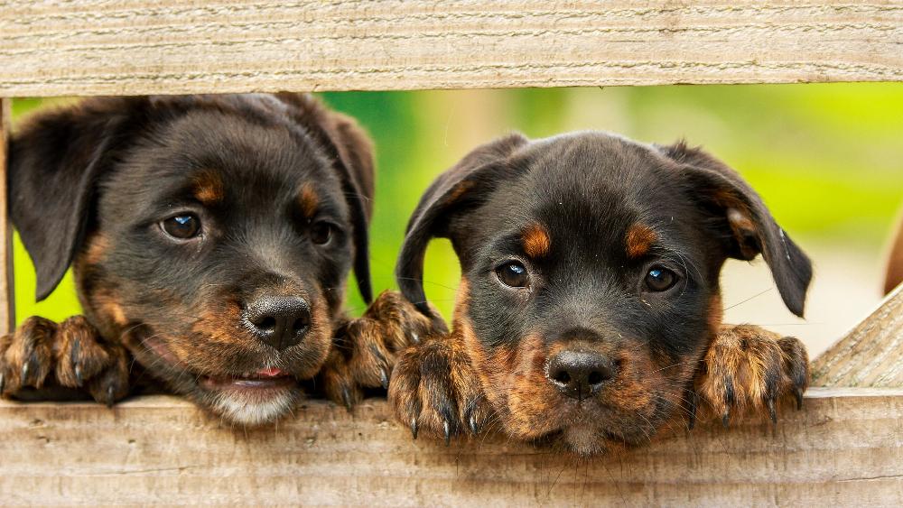 Dysplazja u psów