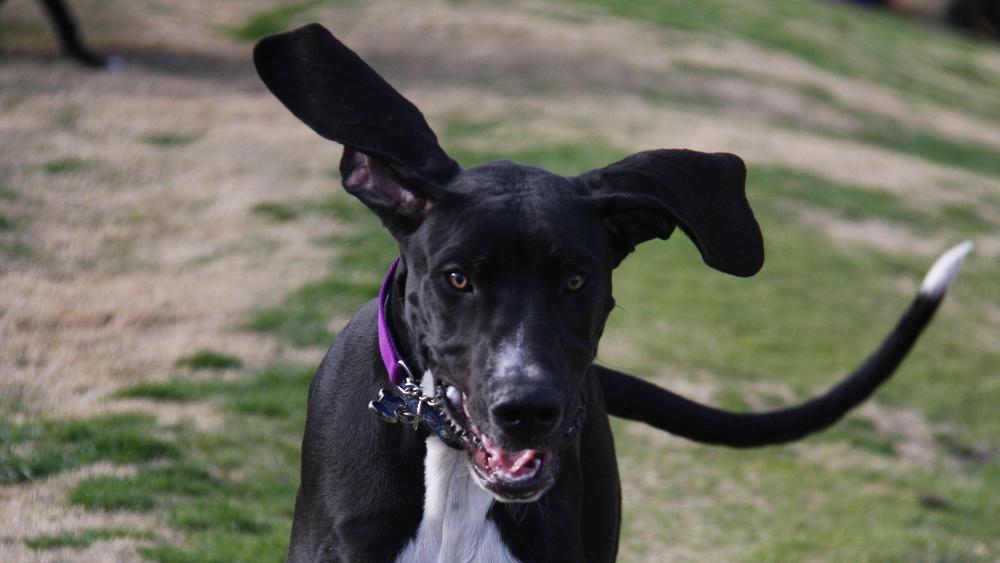 Wielki uciekinier w zagrożeniu – czyli pies ucieka podczas spaceru