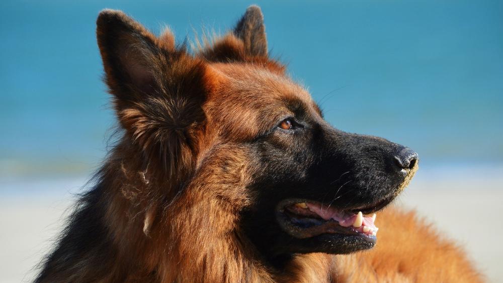 Dysplazja stawu łokciowego u psa