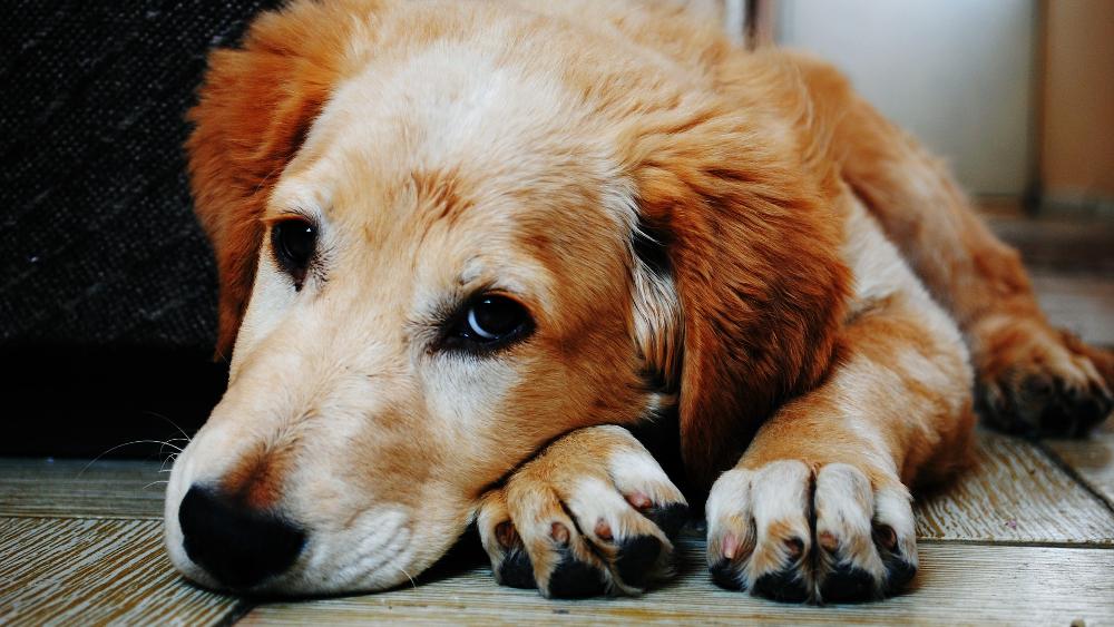 Jak uspokoić psa w Sylwestra